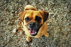 Il Carlino è uno dei cani più simpatici
