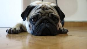 Il Carlino è un cane piccolo e amante delle comodità, ma anche molto socievole
