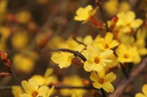 I bellissimi gelsomini gialli