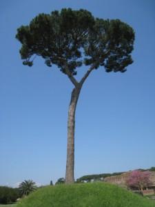 Il pino romano