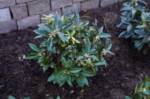 La sarcococca, bella e profumata pianta invernale
