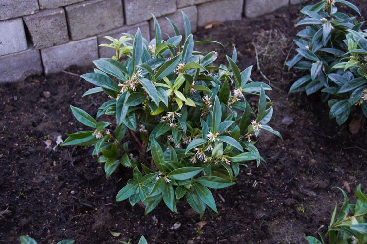 Cinque piante da esterno invernali che fioriscono a for Piante da esterno invernali