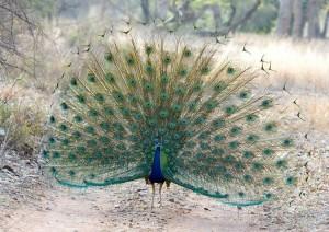 Il pavone e le sue piume (foto di Koshy Koshy via Flickr)