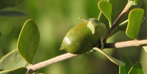 Il nutriente olio di jojoba