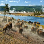 I bisonti dello Yellowstone