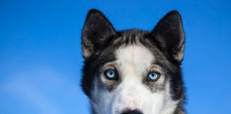 Scopriamo i migliori nomi per un husky (foto di Daniel A. Leifheit via Flickr)