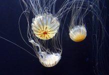Delle splendide meduse