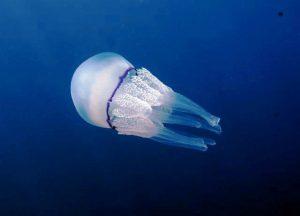 Il polmone di mare, una delle meduse più celebri (foto di Dario Romeo via Wikimedia Commons)