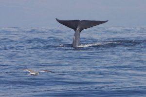 """La coda della balenottera azzurra (foto di Gregory """"Slobirdr"""" Smith via Flickr)"""