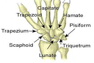 Il nome delle varie ossa del carpo