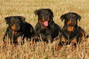 Indole diversa tra maschi e femmine di Rottweiler