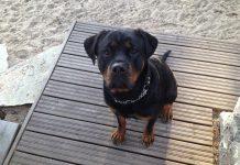 Cinque cose da sapere sul cane Rottweiler