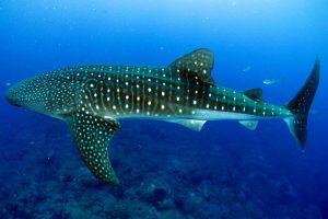 Lo squalo balena, uno degli animali più grandi del mondo
