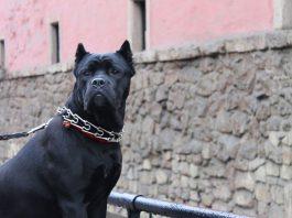 Un cane corso, ottimo esempio tra i cani da guardia (foto di Canecorso23 via Wikimedia Commons)