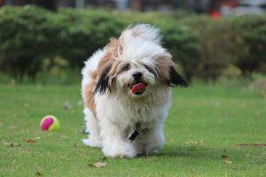 Il Lhasa Apso, cane che arriva dal Tibet