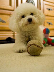Un Bolognese che gioca con una palla da baseball (foto di Grace via Flickr)