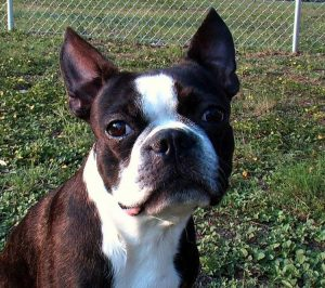 Il Boston Terrier, un cane da compagnia affidabile