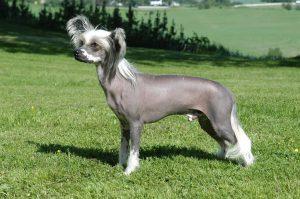 Il cane Cinese Nudo, un ottimo cane da compagnia (foto di Tommy Gildseth via Wikimedia Commons)