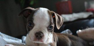 Un tenero Boston Terrier, ottimo esempio di cane da compagnia