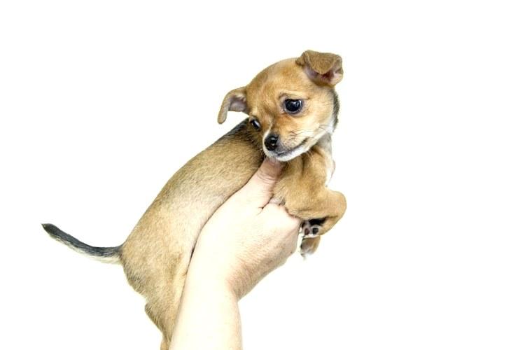 Il Chihuahua, uno dei cani più piccoli esistenti