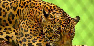 Nell'elenco dei felini – o sarebbe meglio dire dei felidi – troviamo tanti animali magici, come il giaguaro