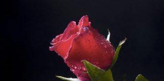 Le migliori frasi sulle rose che sono mai state scritte