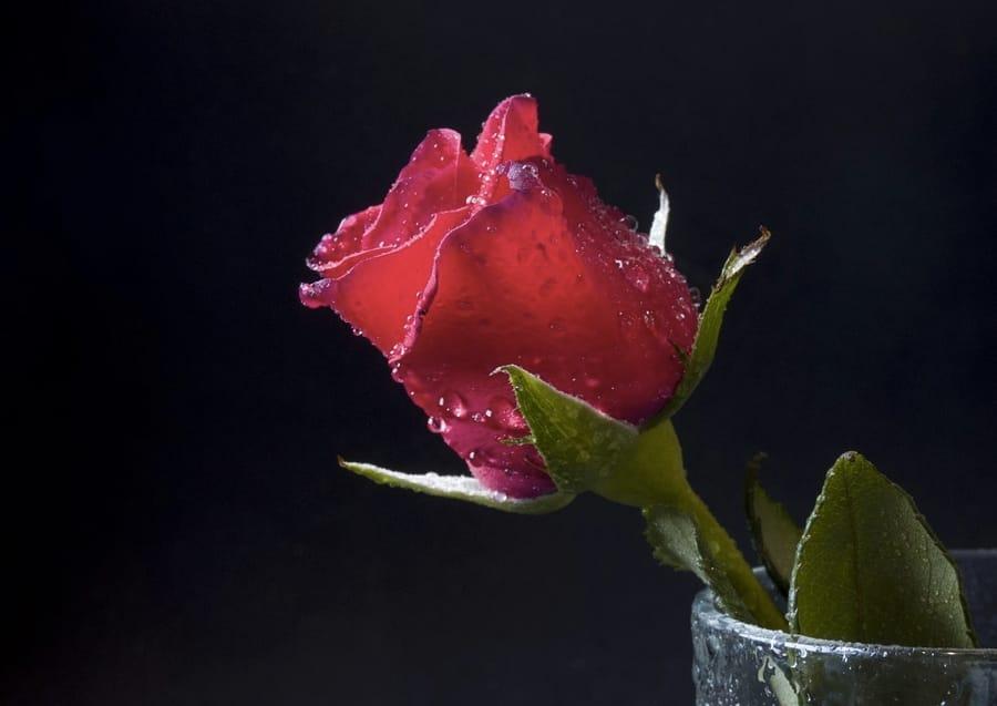 50 Celebri Frasi Sulle Rose Per Ogni Occasione Cinque Cose