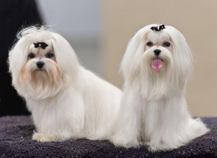 Due cani Maltesi, perfetti esempi di cani da salotto (foto di Sheltie Boy via Flickr)