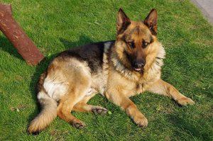 Cani da bellezza e cani da lavoro (foto di Jakub Halun via Wikimedia Commons)