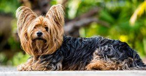 Un bellissimo esemplare di Yorkshire Terrier