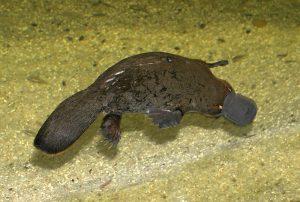 L'ornitorinco, strano e famoso (foto di Stefan Kraft via Wikimedia Commons)