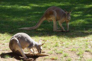 Alla scoperta dei canguri e degli altri marsupiali australiani