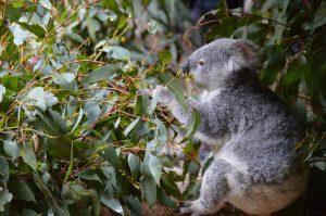 Il koala sa farsi amare
