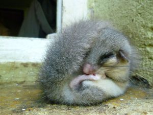 Un ghiro intento a dormire