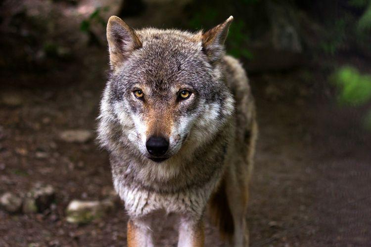 Cinque tipici animali del bosco cinque cose belle for Disegni di lupi da colorare