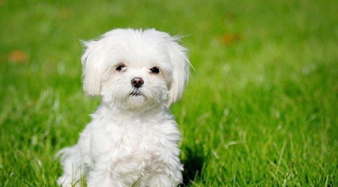 Alla scoperta del cane maltese a pelo corto (foto di Ann via Flickr)