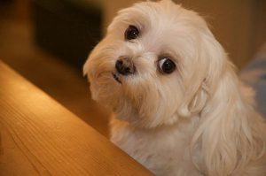 I fantastici occhi del cane Maltese a pelo corto (foto di Ed Yurdon via Flickr)