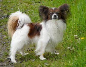 Liline è un nome perfetto per una cagnolina di piccola taglia (foto di Gvdmoort via Wikimedia Commons)