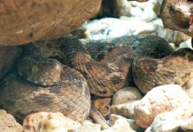Una vipera rostrata egiziana, uno degli animali più pericolosi del mondo