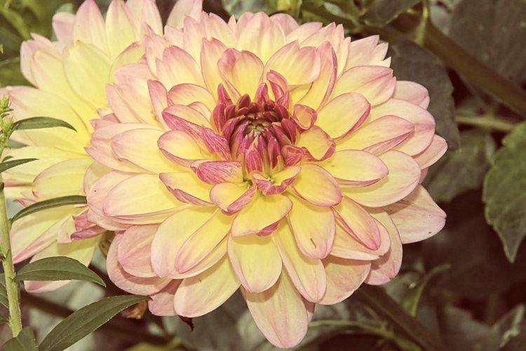 Alla scoperta del linguaggio dei fiori, partendo dalle dalie