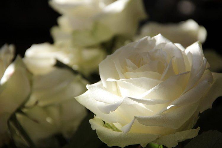Le rose con le loro spine hanno sempre ispirato chi crea frasi sui fiori