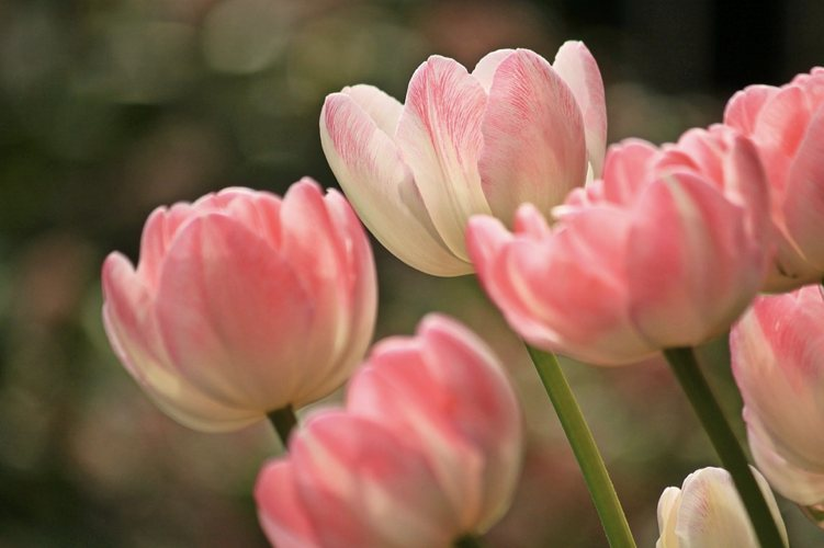 I tulipani