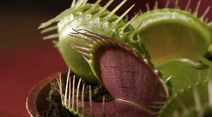 Una Venere Acchiappamosche, la più famosa delle piante carnivore (foto di che via Wikimedia Commons)