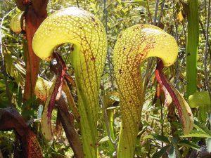Una pianta cobra (foto di NoahElhardt via Wikimedia Commons)