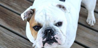 Facciamoci guidare dal bulldog alla scoperta delle razze di cani più comuni in Italia