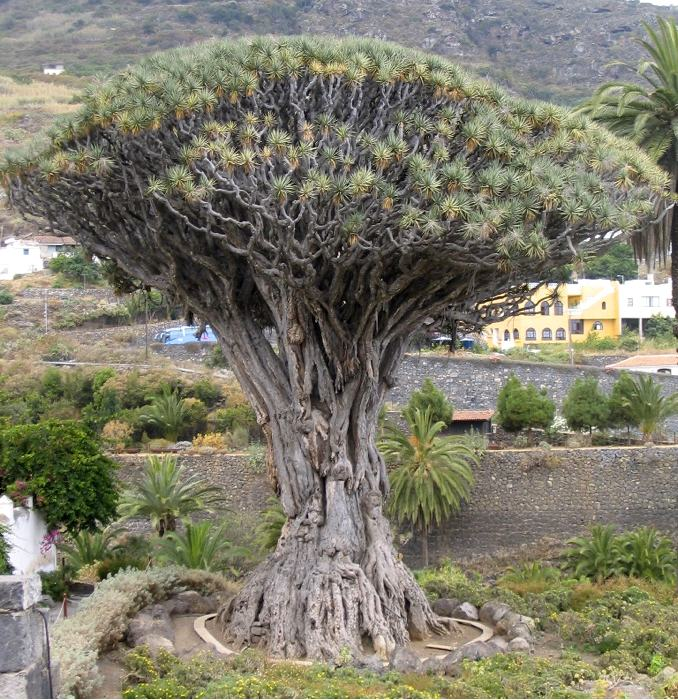 Un albero del drago a Tenerife (foto di Miguel303xm via Wikimedia Commons)