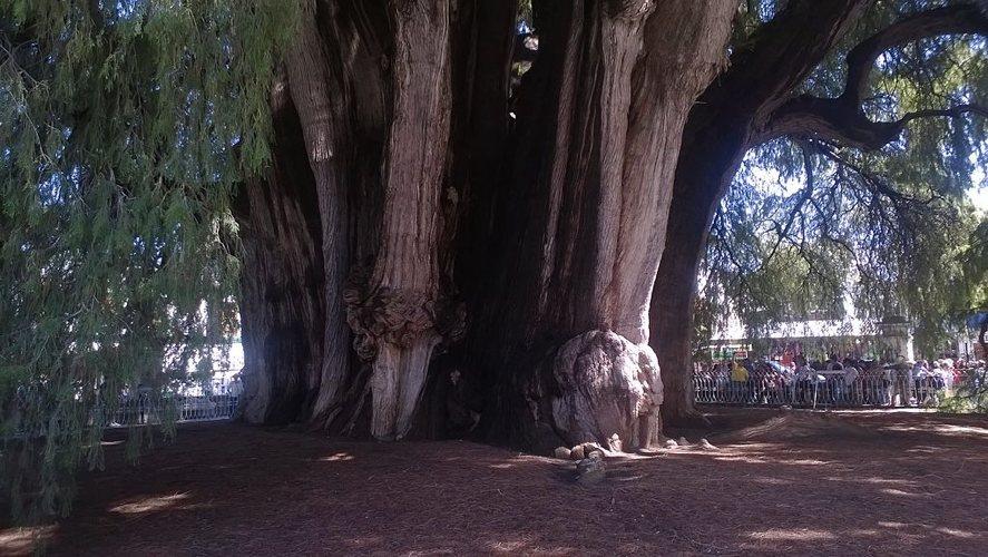 L'albero di Tule (foto di Ovedc via Wikimedia Commons)