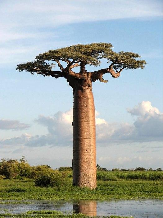 Un baobab di Grandidier in Madagascar (foto di Bernard Gagnon via Wikimedia Commons)