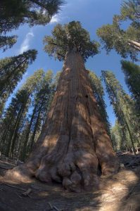 Un Generale Sherman, uno degli alberi più strani e caratteristici (foto di Jason Rogers via Flickr)