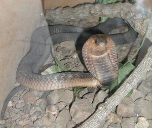 Un bell'esemplare di cobra egiziano